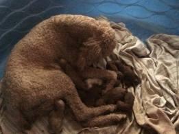Rizzo/Jezebel puppies litter #1